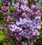 Edelflieder Nadeshda - Kircher-Collection 30-40cm - Syringa vulgaris