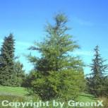 Sumpfzypresse 80-100cm - Taxodium distichum - Vorschau