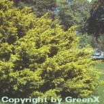 Goldgelbe Adlerschwingen Eibe 100-125cm - Taxus baccata Dovastoniana Aureovariegata - Vorschau