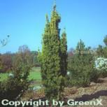 Gelbe Säuleneibe 100-125cm - Taxus baccata Fastigiata Aureomarginata - Vorschau