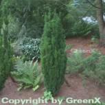 Säuleneibe 100-125cm - Taxus baccata Fastigiata Robusta