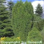 Grüne Säuleneibe 30-40cm - Taxus baccata Fastigiata - Vorschau