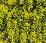 Eibe Germers Gold 25-30cm - Taxus baccata