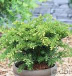 Tafeleibe 15-20cm - Taxus baccata