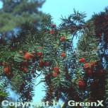 Heimische Eibe Gewöhnliche Eibe 50-60cm - Taxus baccata