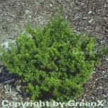 Japanische Zwergeibe 60-80cm - Taxus cuspidata Nana - Vorschau