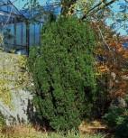 Bechereibe Stricta Virdis 70-80cm - Taxus media - Vorschau