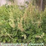 Falsche Allraunwurzel - Tellima grandiflora - Vorschau