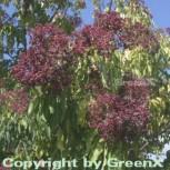 Bienenbaum - Samthaarige Stinkesche 80-100cm - Tetradium daniellii