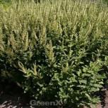 Salbei Gamander - Teucrium scorodonia