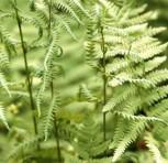 Sumpffarn - Thelypteris palustris - Vorschau