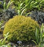 Lebensbaum Anniek 20-25cm - Thuja occidentalis Anniek