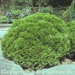 Kugel Lebensbaum Danica 10-15cm - Thuja occidentalis