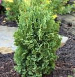 Lebensbaum Holmstrup 125-150cm - Thuja occidentalis - Vorschau