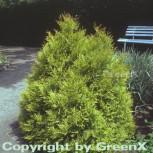 Lebensbaum Rheingold 50-60cm - Thuja occidentalis - Vorschau