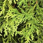 Zwerg Lebensbaum Stolwijk 20-25cm - Thuja occidentalis