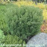 Kuschellebensbaum Teddy 20-25cm - Thuja occidentalis - Vorschau