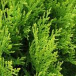 Gelber Zwerglebensbaum 30-40cm - Thuja orientalis Aurea Nana - Vorschau