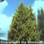 Gelber Riesenlebensbaum 125-150cm - Thuja plicata - Vorschau