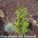 Riesenlebensbaum Can Can 30-40cm - Thuja plicata - Vorschau