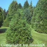 Hibalebensbaum 40-60cm - Thujopsis dolabrata - Vorschau