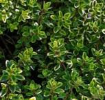 Echter Zitronen Thymian Silver King - Thymus citriodorus - Vorschau