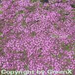 Doerflers Teppich Thymian - Thymus doerfleri - Vorschau