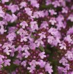 Breitblättrige Thymian - Thymus pulegioides
