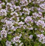 Echter Thymian - Thymus vulgaris - Vorschau