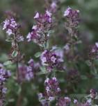 Echter Thymian Silver Posie - Thymus vulgaris