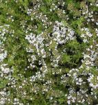 Gewürz Thymian - Thymus vulgaris - Vorschau