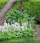 Zipfelblättrige Garten Schaumblüte Ninja - Tiarella laciniata