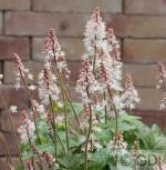 Zipfelblättrige Garten Schaumblüte Spring Symphony - Tiarella laciniata - Vorschau