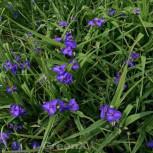 Dreimasterblumen Leonora - Tradescantia andersoniana