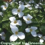Großblütige Waldlilie - Trillium grandiflorum