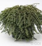 Kanadische Hemlocktanne Coles Protrate 30-40cm - Tsuga canadensis