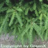 Nordjapanische Hemlocktanne Minikin 60-80cm - Tsuga diversifolia