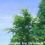 Nordjapanische Hemlocktanne 60-80cm - Tsuga diversifolia