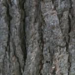 Graue Hemlocktanne 30-40cm - Tsuga mertensiana