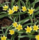 Sterntulpe - Tulipa tarda