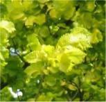 Bonsai Zwergulme Jacqueline Hillier 60-70cm - Ulmus hollandica - Vorschau