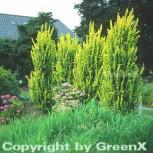 Goldulme 100-125cm - Ulmus carpinfolia - Vorschau