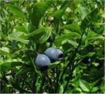 Heidelbeere Bluecrop 60-80cm - Vaccinium corymbosum - Vorschau