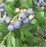 Heidelbeere Grover 40-60cm - Vaccinium corymbosum