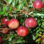 Cranberry Steven 20-30cm - Vaccinium macrocarpon