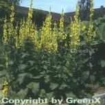 Großblütige Königskerze - Verbascum densiflorum - Vorschau