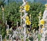 Seidenhaar Königskerze Polarsommer - Verbascum bombyiferum - Vorschau