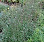 Echtes Eisenkraut - Verbena officinalis