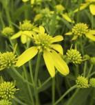 Scheinsonnenhut Goldstrahl - Verbesina alternifolia