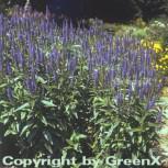 Hoher Wiesenehrenpreis Blauriesin - Veronica longifolia - Vorschau